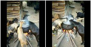 Shocking video of goats eating from pot on fire