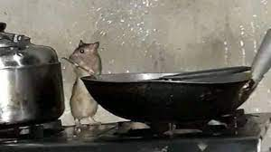 Rat cooking in a man's house